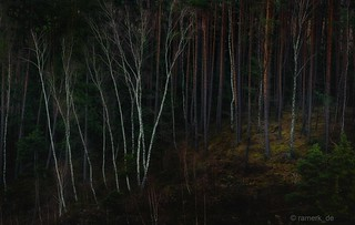 A group of birch trees