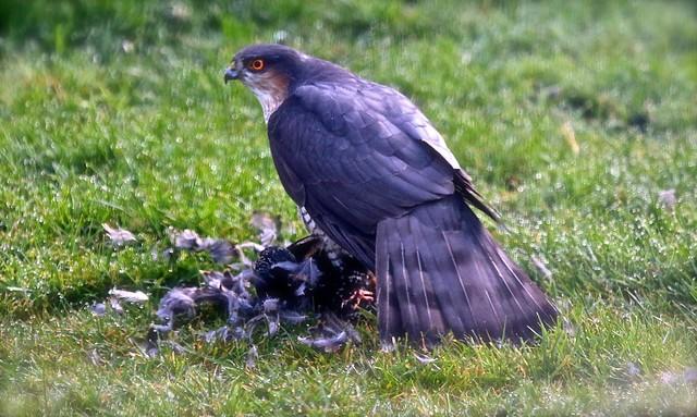 Sparrowhawk IMG_2334