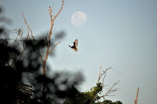 Urubu e Lua Cheia