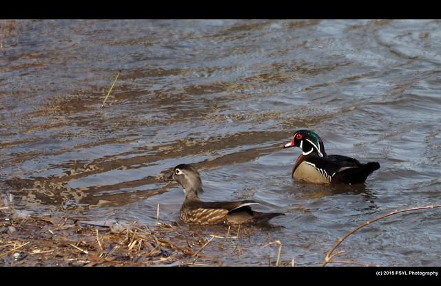 Wood Ducks (Aix sponsa)