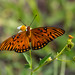 Small photo of Gulf Fritillary - Agraulis vanillae