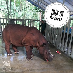 #Babywatch continues for Ratu. She is getting lots of fresh fruits and veggies everyday and today got to snack on some watermelon. #teamrhino :watermelon::watermelon::watermelon: