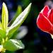 Red Rod Azalea1 (Rhododendron luteum var. sinensis)
