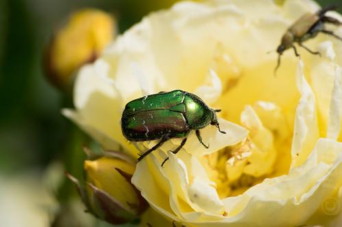 31773 - Coléoptères, Fleurs