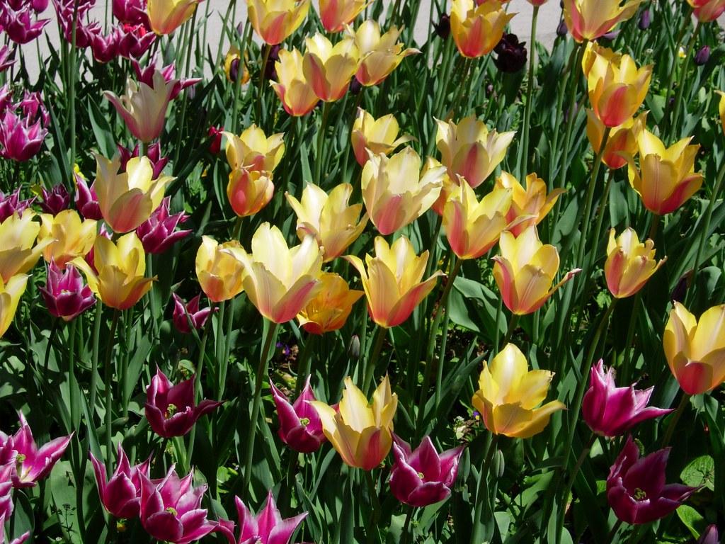 Tulipanes turcos en el palacio de Topkapi