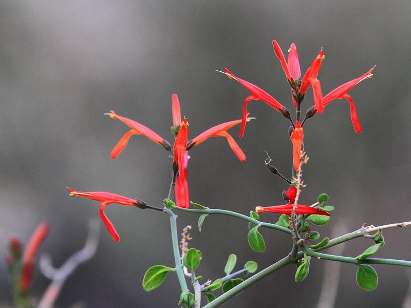 IMG_6657 Chuparosa, Anza-Borrego Desert State Park