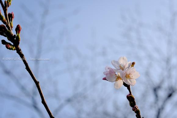 20150322-_DSC6366ichibanzakura