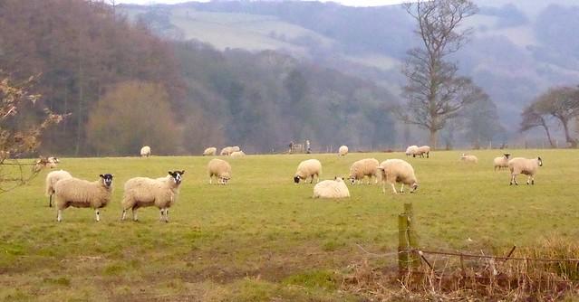 Lowland sheep