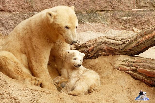 Zoo Rostock Eisbären 28.03.2015  72