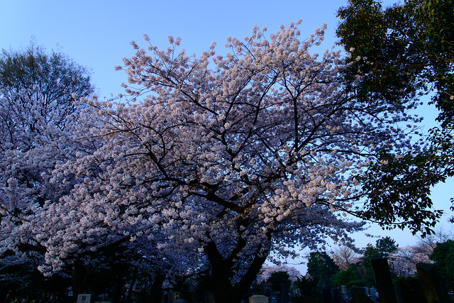 Morning Sakura - Dim