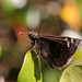 Juvenal's Duskywing - Photo (c) Mary Keim, some rights reserved (CC BY-NC-SA)