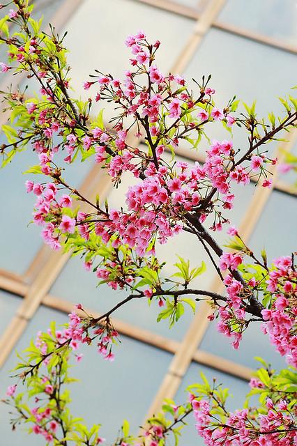 2015隨拍櫻花 (5)