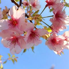 今日は佐鳴湖公園でお散歩してきました!👟 たくさん歩いて気持ち良かった〜🎶⁽⁽ଘ( ˊᵕˋ )ଓ⁾⁾🎶 自然がいっぱい❀.(*´◡`*)❀. 今年初の桜を見ました。美しい〜🌸  #佐鳴湖 #浜松 #桜 #さくら #sakura #japan