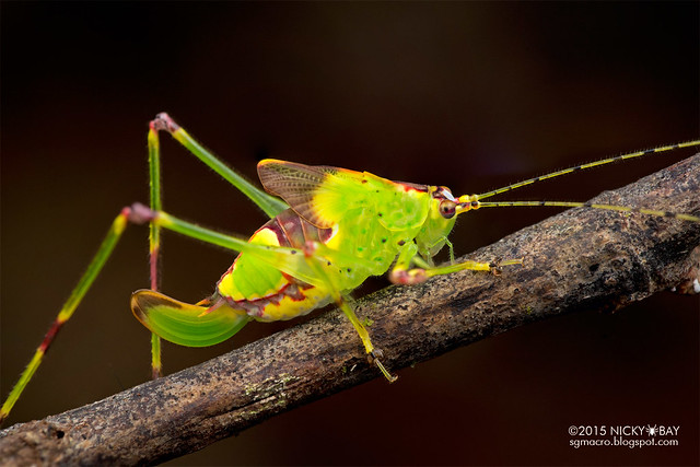 Katydid (Tettigoniidae) - DSC_3648
