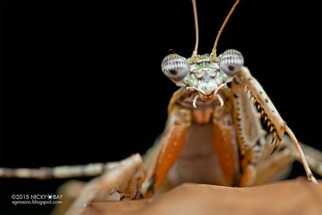 Bark mantis (Mantodea) - DSC_5442