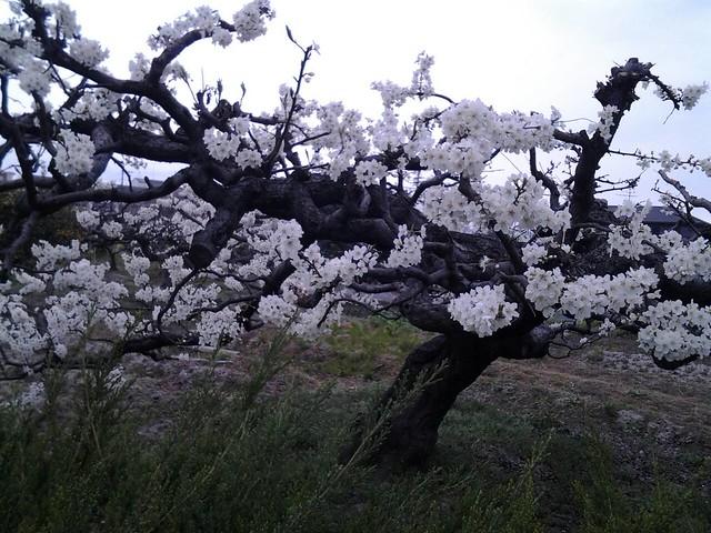9690柰良的田園櫻花