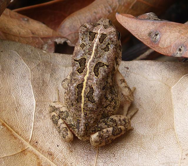 Header of Amietophrynus gutturalis