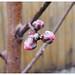 PeachBlossoms2