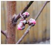 PeachBlossoms2