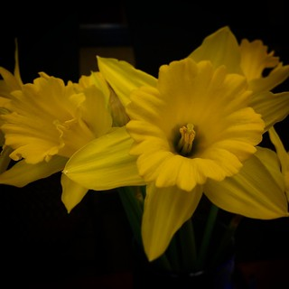 April is Daffodil Month ... pls support @cancersociety  #daffodilmonth #daffodils #cancer #cancersociety #support #cancerresearch #april #yyc #calgary #spring #yellow #yellowflowers #flowers #grateful4