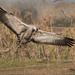 Common crane landing by Mike Ashton
