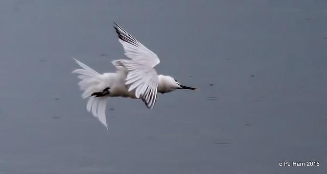 Sandwich Tern acrobatics