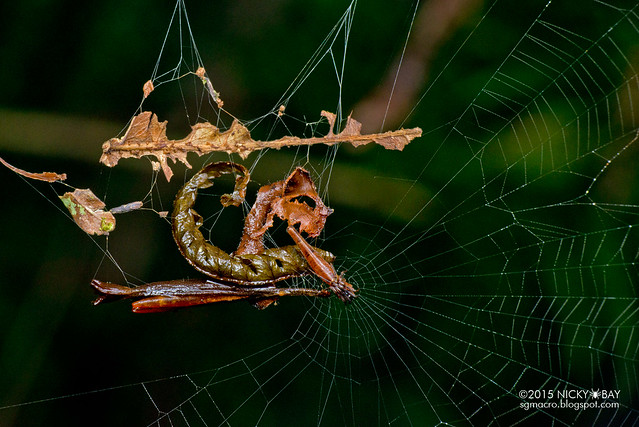 Trashline orb web spider (Cyclosa sp.) - DSC_3350
