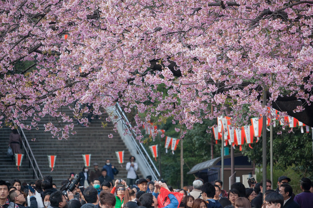 Cherry blossoms in Ueno Park, Tokyo. : Canon EF-S55-250mm F4-5.6 IS STM testshot