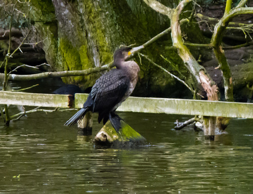Young cormorant, West Park