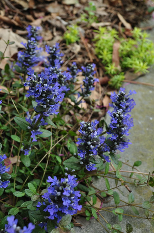 Ajuga reptans 'Chocolate Chip'