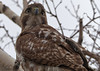imm. red tailed hawk