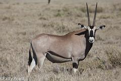 animal, prairie, antelope, gemsbok, mammal, horn, fauna, oryx, savanna, grassland, safari, gazelle, wildlife,