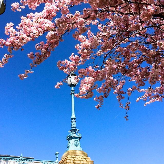 Alexandra Palace Cherry Blossom 2015
