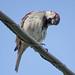 Sparrow Look by kendoman26