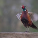 Me! Me! See me! — Ring-necked Pheasant / Phasianus colchicus