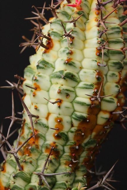 Euphorbia stellispina f. variegata