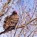 Turkey Vulture by Gary/-King