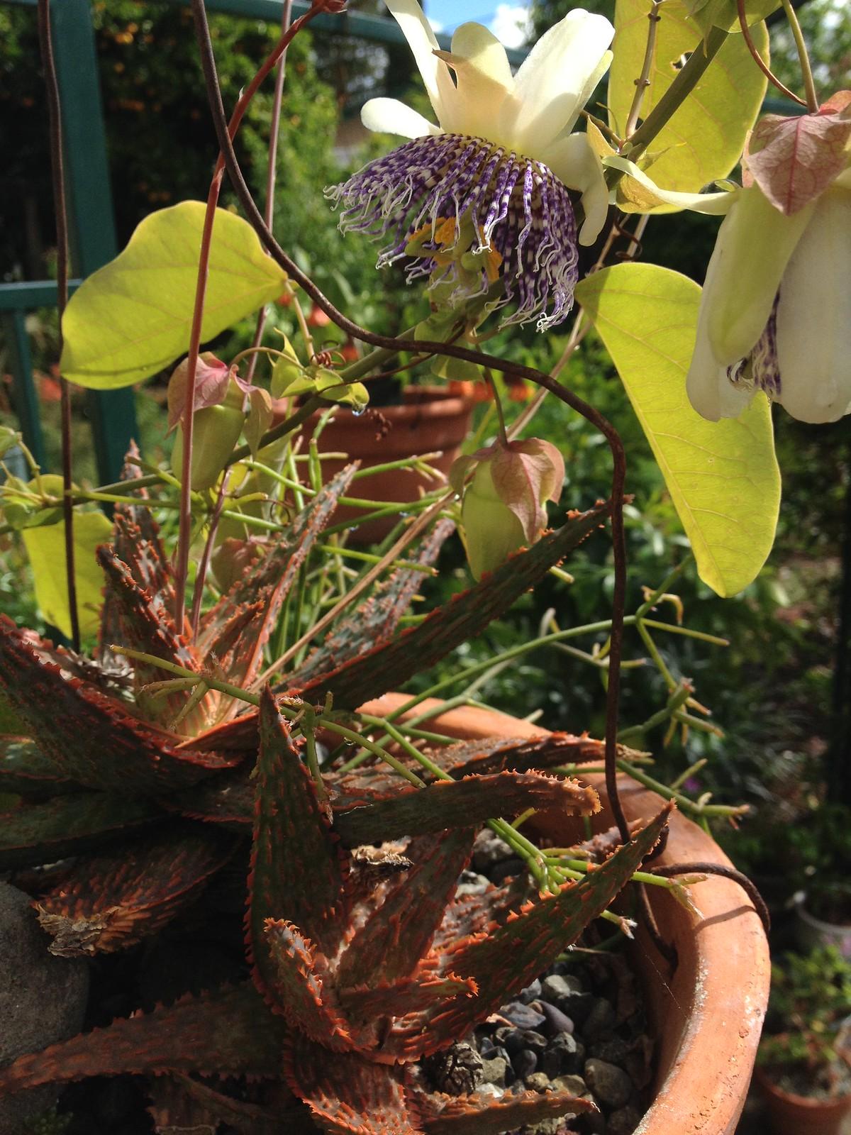 Passiflora actinia, Aloe 'Christmas Carol', and Rhipsalis