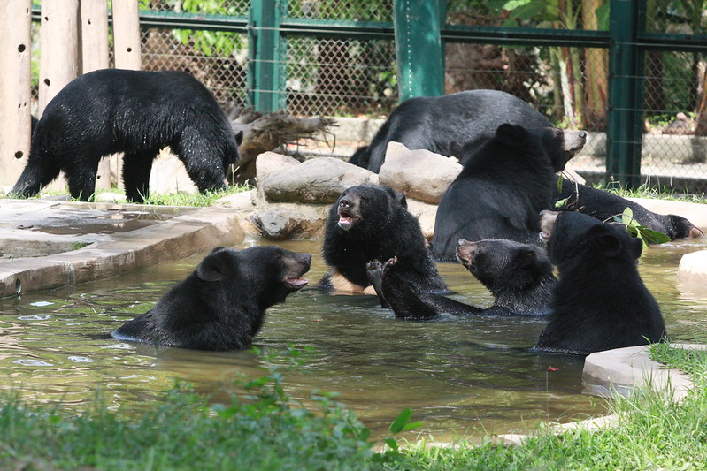 Moon bear pool party (L to R: Thomas, Xin Xin, Tieu Long, Georges, Baruffa)