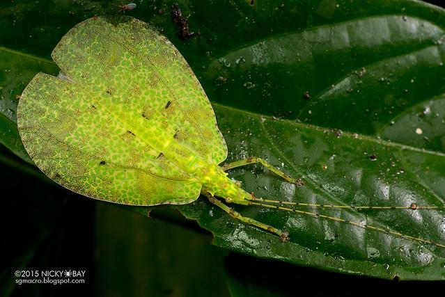Katydid (Tettigoniidae) - DSC_2924