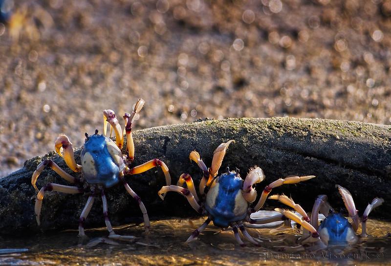 Soldier crabs_1