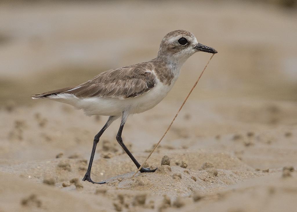 Lesser Sand Plover  Thailand