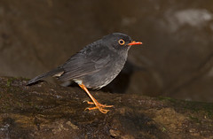 Slaty-backed Nightingale-Thrush