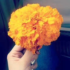 Gift from my driver. He sayas his homes walaiti gainda is far superior than the desi crop at my house. Hes right. This flower is huge. I want to eat it.