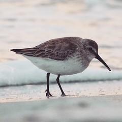 Dunlin on the beach