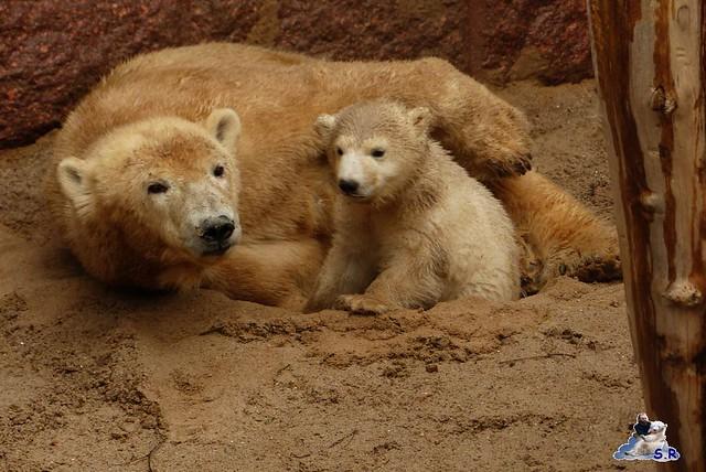 Eisbär Fiete Zoo Rostock 31.03.2015  15