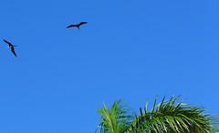 Magnificent Frigatebirds - P1140054