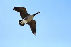Waterfowl - Ducks, Geese, Swans