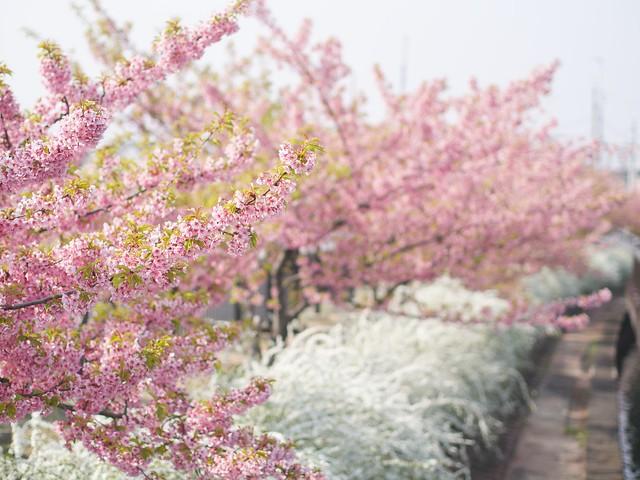 150322_Sakura 4
