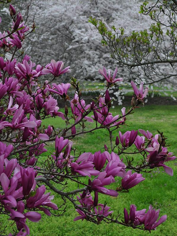 Magnolia x 'Betty' (3)